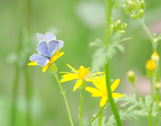 Eastern tailed-blue butterfly on squaw weed