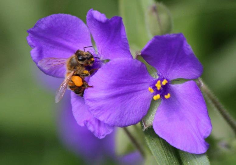 Mary Eads - Bee Collecting Pollen on Spiderwort 05232014