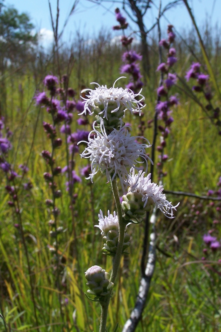 White Forms Of Colored Wild Flowers Kansas City Native Plant