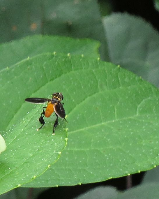 Feather Legged fly