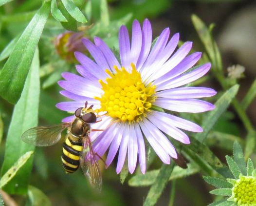 Syrphid Fly Syrphus Aromatic aster