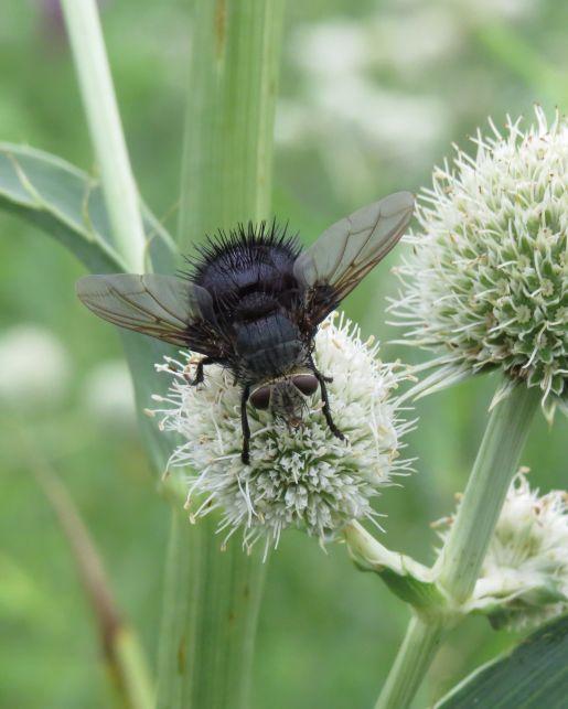 Tachinid fly Leschenaultia