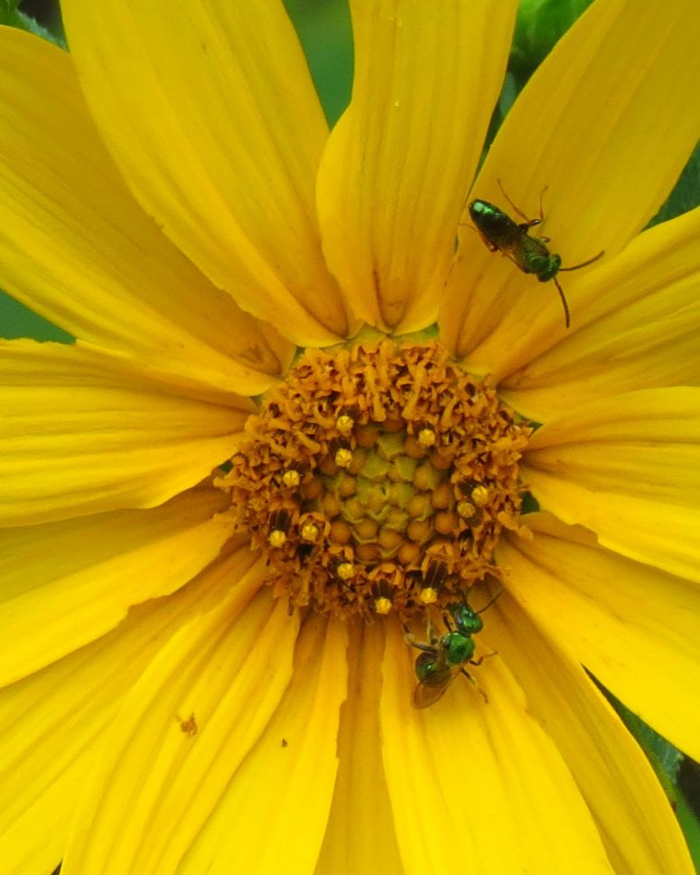 Male and Female Sweat Bees Augochlorella aurata