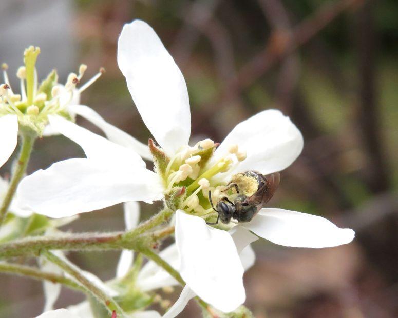 Mason Bee Osmia