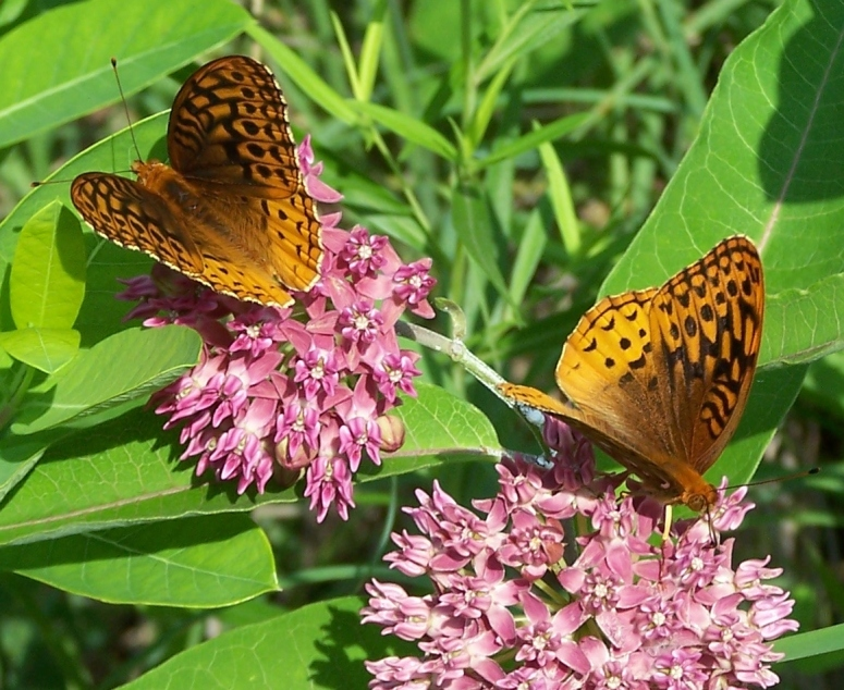 Frittilary on Milkweed