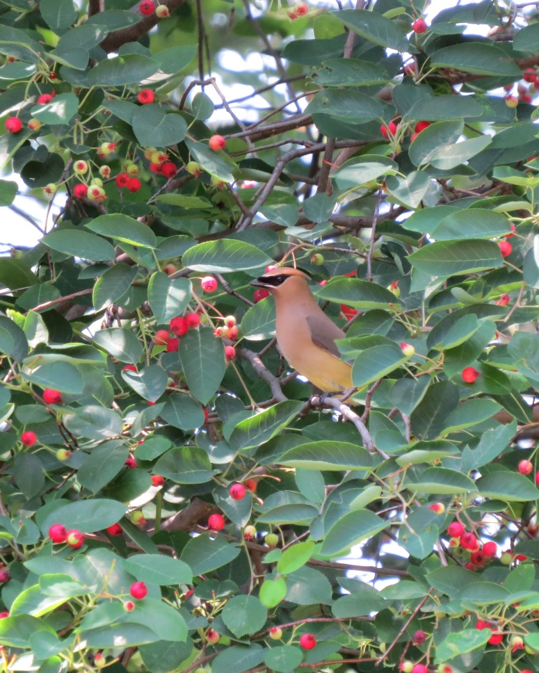 Waxwing in Serviceberry