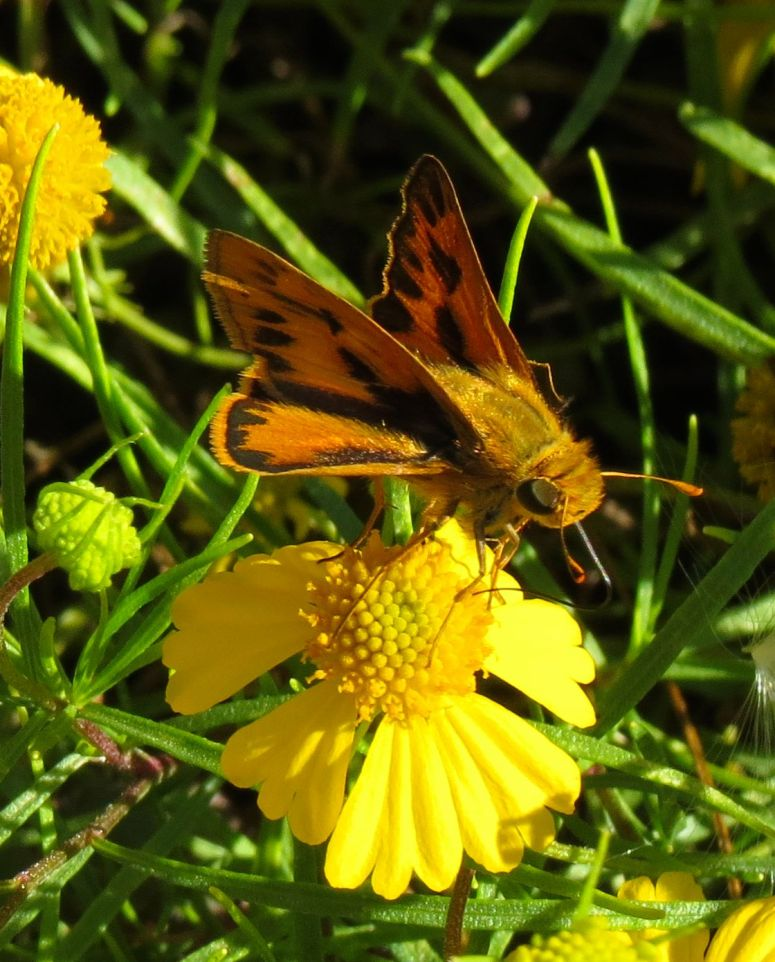 Fiery Skipper 1